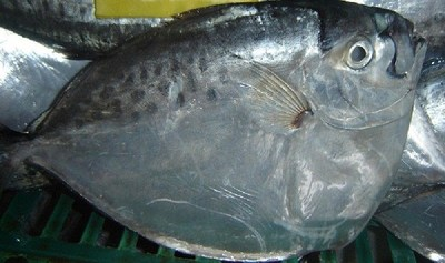 FROZEN MOONFISH